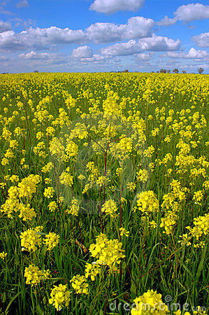 Free Mustard Flowers, White Clouds Stock Image - 2361881