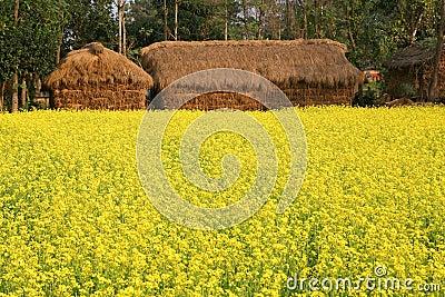 Mustard plant Flowering in Village