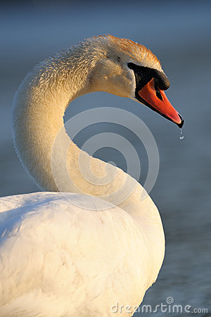 Free Mute Swan Stock Images - 31765144