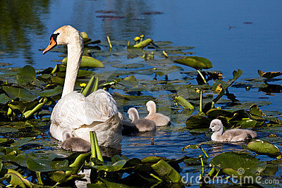 Mute Swan and Baby Cygnets In Pond
