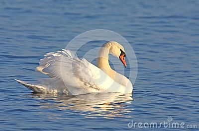 Mute swan on blue water