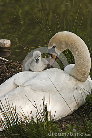 Free Mute Swan Cygnet Climbing On Mothers Back Stock Photography - 45702462
