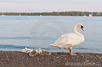 Mute Swan with Cygnets on a Beach