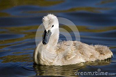 Mute swan (Cygnus olor) hatchling on water