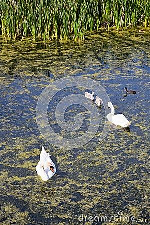 Mute swan eating