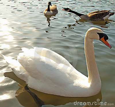 Mute swan and geese