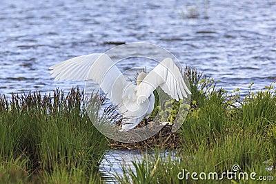 Mute Swan nests