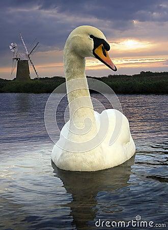 Free Mute Swan - Norfolk Broads - England Stock Photos - 18725493