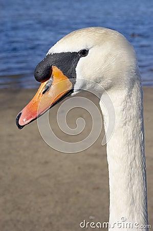 Free Mute Swan Portrait Royalty Free Stock Photo - 549965