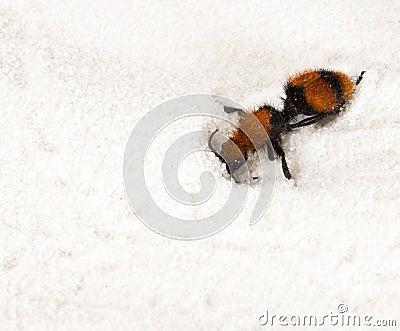 Mutillidae, velvet ant