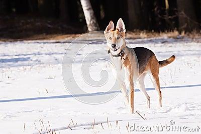 Mutt of greyhound and german shepherd