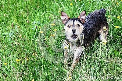 Mutt terrier