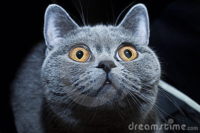 Muzzle of British gray cat