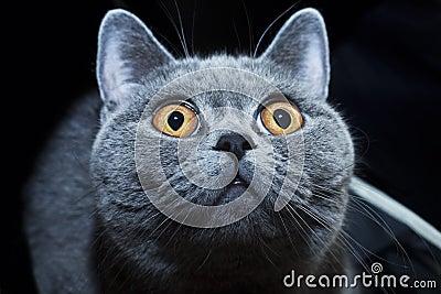 Muzzle of British gray cat