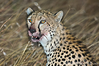 Muzzle cheetah smeared in the victim s blood