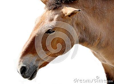 Portrait of chestnut wild horse