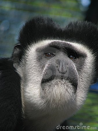 Muzzle of eastern black-and-white colobus