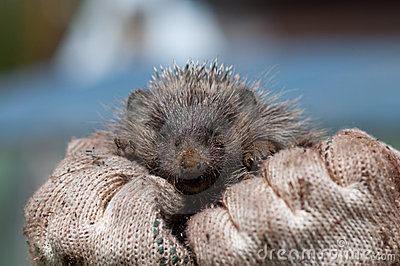 Muzzle of a hedgehog on hands