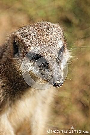Muzzle of meerkat