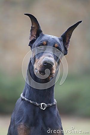 Free My Best Friend Doberman Royalty Free Stock Photography - 66665367