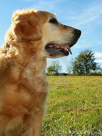 My darling dog - golden retrie