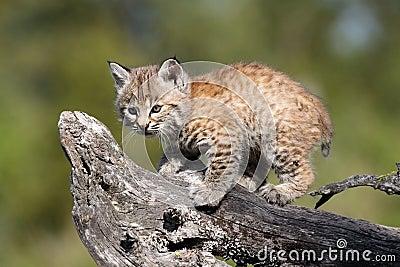 Mycket liten bobcatkattunge