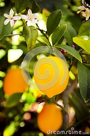 Free Myer Lemon Royalty Free Stock Photo - 4678155