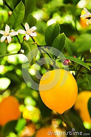 Free Myer Lemon Royalty Free Stock Image - 4678166