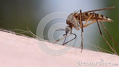 Myggablod som suger på mänsklig hud