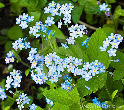 Myosotis. Forget-me-not