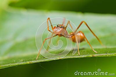 Myrmarachne plataleoides jumping spider
