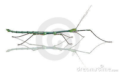 Myronides Sp, stick insect