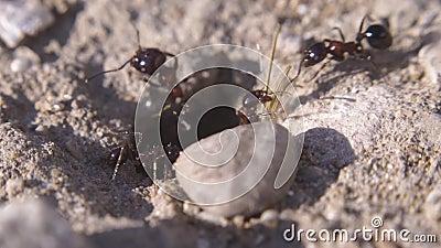 Myror som k?r till deras myrstack Myragemenskap Extremt makroslut upp skott stock video