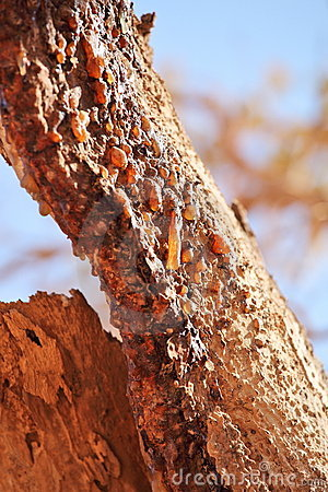 Free Myrrh Tree Resin Royalty Free Stock Photos - 13695598