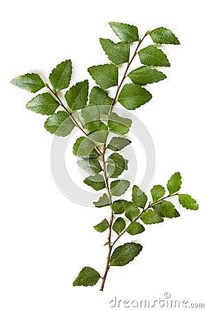 Myrtle Beech Leaves