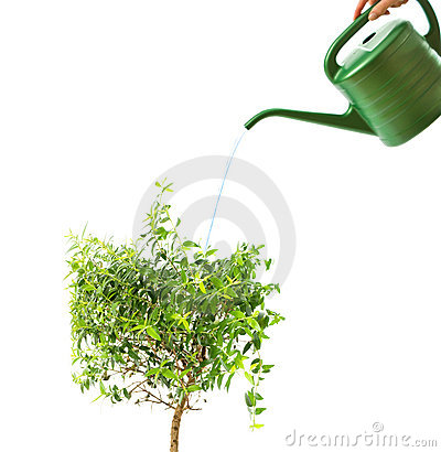 Myrtle tree and watering pot isolated on white