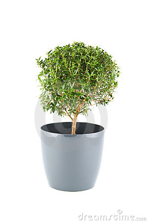 Myrtus Stock Photo - Image: 23080320