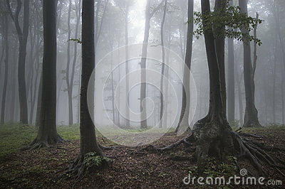 Mysterious fantasy forest with fog Stock Photo