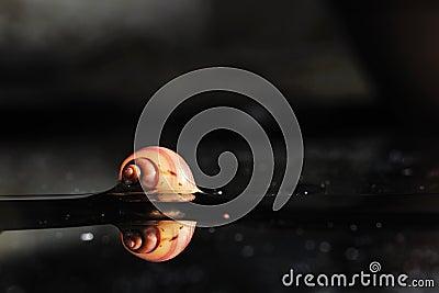 Mystery Snails 001