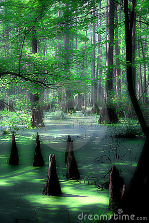 Mystical cypress swamp