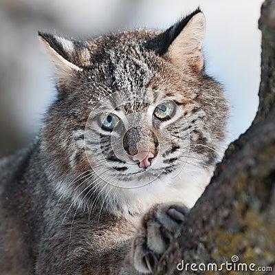 Nära övre för Bobcat (lodjurrufus)