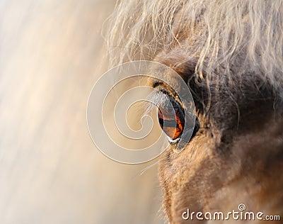 Nära miniatyrhäst - sköt upp