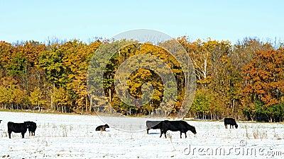 Nötkreatur för Angus konötkött som betar i snö, betar i Minnesota på solig höstdag stock video