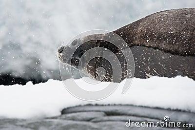Na plaży Weddell foka