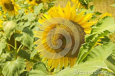 Zonnebloem in dichte omhooggaand