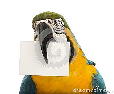 Nahaufnahme eines Blau-und-gelben Macaw, Ara ararauna, 30 Jahre alt, eine weiße Karte in seinem Schnabel anhalten