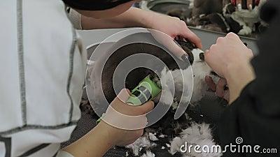 Nahaufnahme eines weiblichen Züchters, der eine Katze in einem Tiersalon rasiert stock video