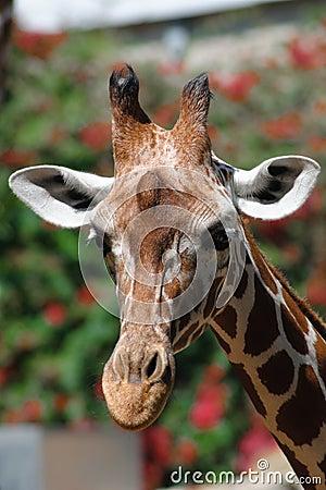 Nahes hohes der Giraffe