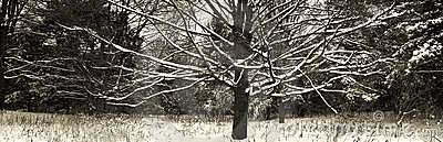 Naked snowed tree