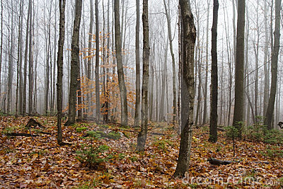 Naked Trees in Foggy Fall Forest II